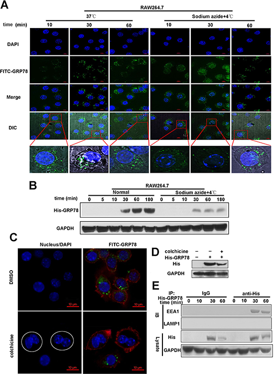 Endocytosis mediates the internalization of secreted GRP78 into macrophages.