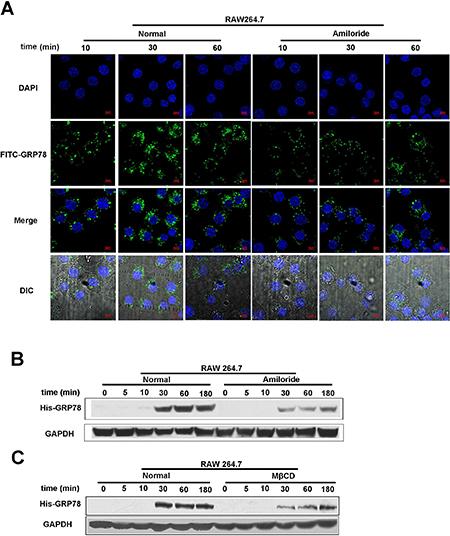 Macropinocytosis contributes to secreted GRP78 internalization.