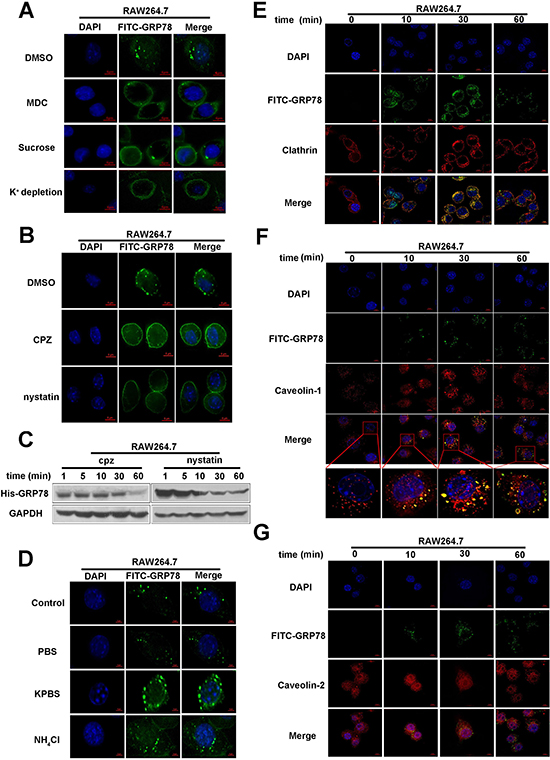 Clathrin- and caveolin-1 mediate the internalization of secreted GRP78 into macrophages.