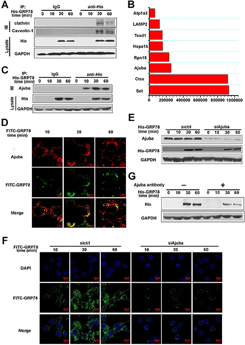 Ajuba served as a receptor to mediate the entry of secreted GRP78 into macrophages.