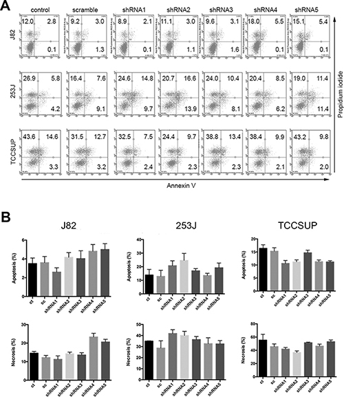 Figure 5. Effects of HSP27 knockdown on BC cell apoptosis and death.