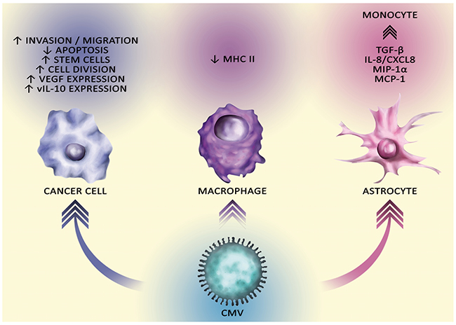 The carcinogenic effect of CMV on different cells.