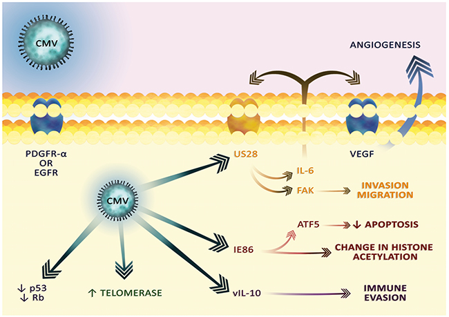 The cytoplasmic effect of CMV infection.