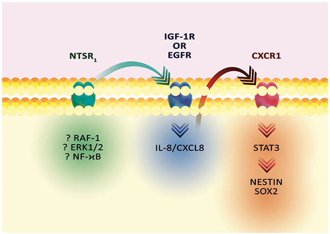 The effect of NT on GSC markers.