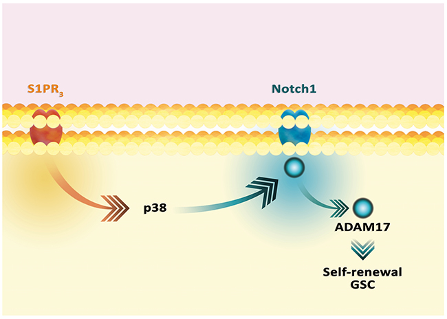 Activation of Notch1 pathway by S1P.