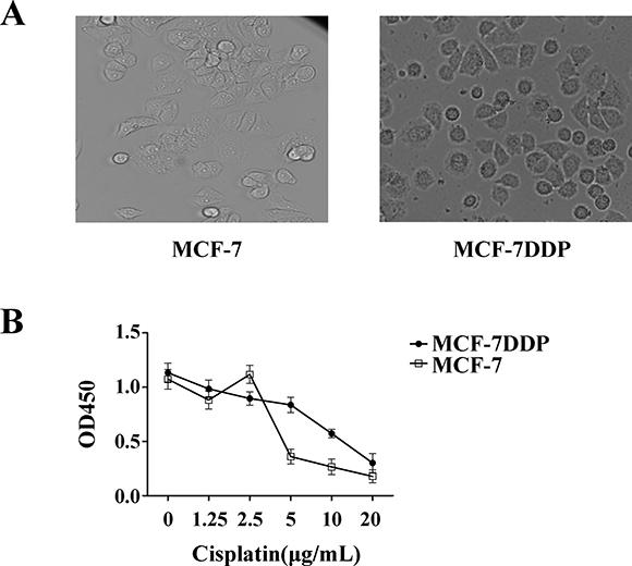 Cisplatin's effect on breast cancer cell proliferation.