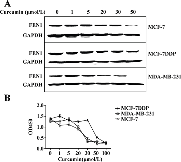 Curcumin's effect on FEN1 expression and proliferation of breast cancer cells.