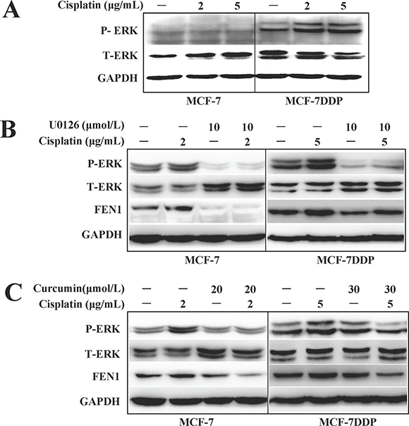 ERK phosphorylation changes and FEN1 expression in breast cancer cells treated with cisplatin, curcumin, U0126 alone, or their combination.