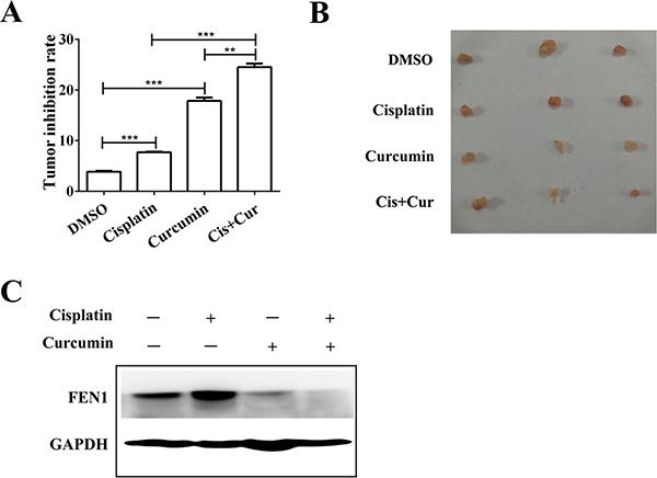 Curcumin enhances cisplatin antitumor effects through FEN1 down-regulation in vivo.