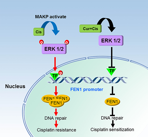 Schematic diagram of a mechanism by which FEN1 overexpression is associated with cisplatin resistance and chemosensitizing effect of curcumin in breast cancer cells.