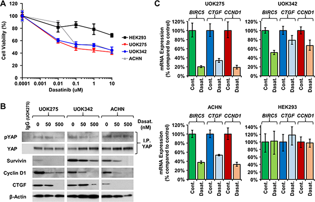 Yes inhibitors lower YAP1-mediated transcriptional network.