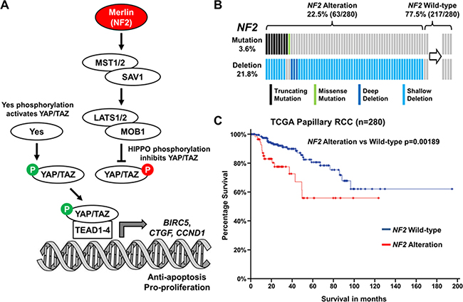 Hippo signaling pathway gene NF2 is altered in 22.5% of PRCC.