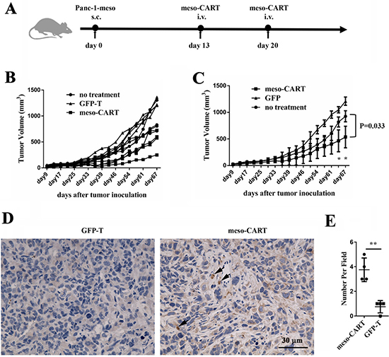 Antitumor efficacy of meso-CART cells in the subcutaneous pancreatic tumor model.