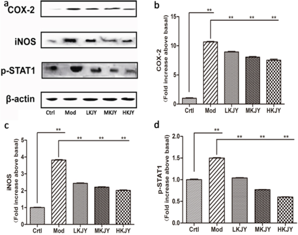 Effect of KJY on inhibiting protein expression of COX-2 and iNOS in LPS-induced RAW264. 7 Macrophage.