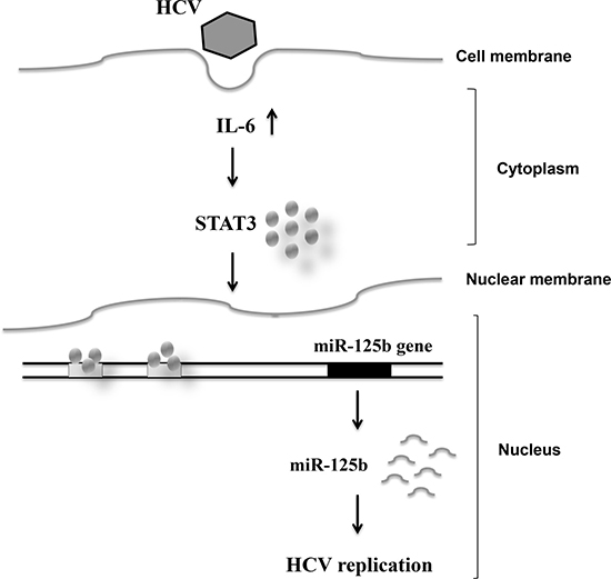 Schematic diagram showing the correlation among HCV infection, and IL-6/STAT3 and miR-125b expression.