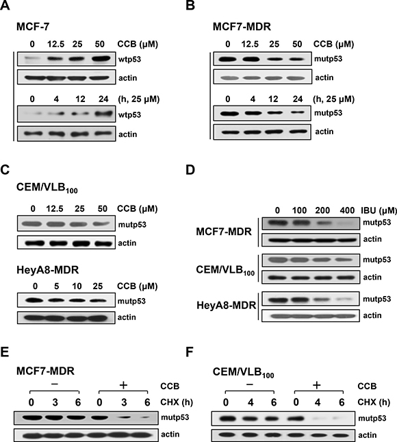 Reduction of mutp53 protein levels in MDR cells by NSAIDs.