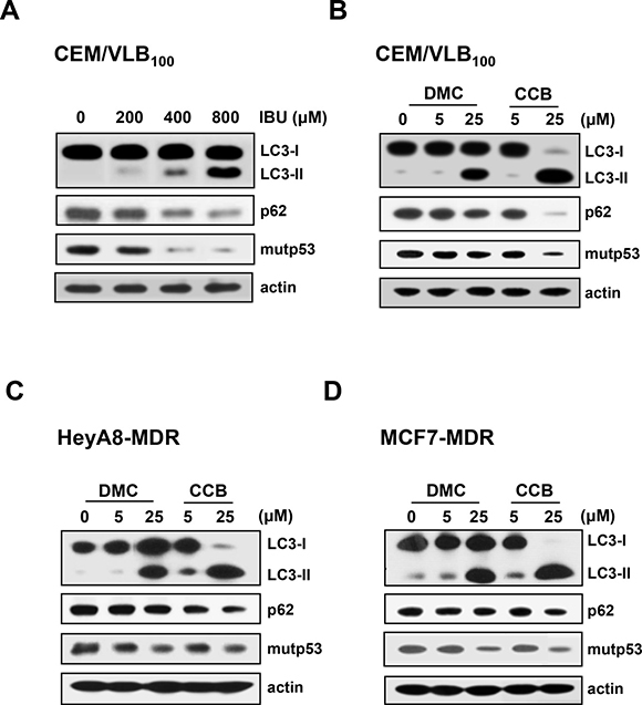 Induction of autophagy and degradation of mutp53 in MDR cells by NSAIDs.