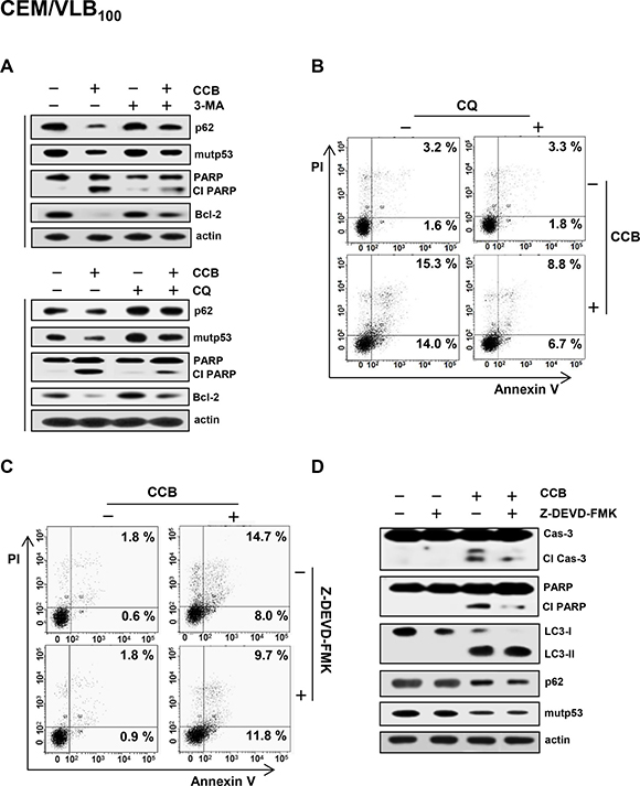 Prevention of CCB-induced autophagic cell death by autophagy inhibitor and crosstalk between CCB-induced apoptotic and autophagic cell death.