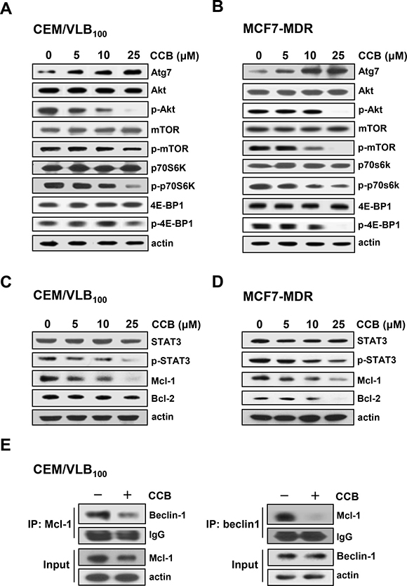 Inhibition of Akt/mTOR signaling pathway and disruption of Beclin-1/Mcl-1 complex via inhibition of STAT3 signaling pathway by CCB in MDR cells.