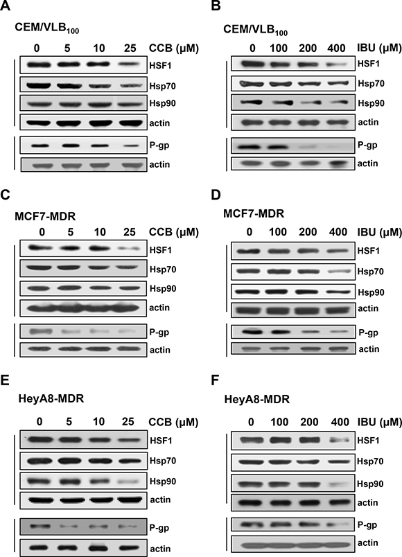 The effects of NSAIDs on HSF1, Hsp70/90 and P-gp levels in MDR cells.