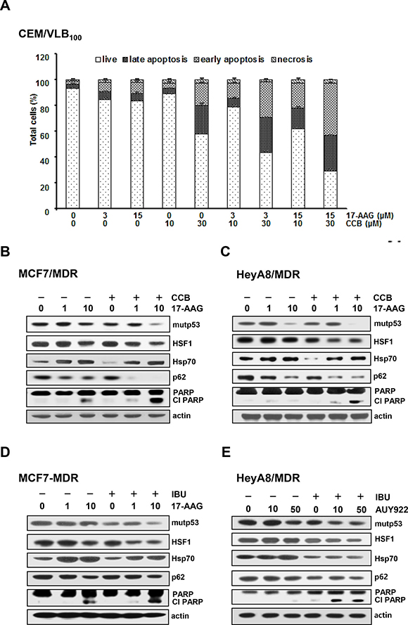 Enhancement of Hsp90 inhibitor-induced apoptosis and acceleration of autophagic mutp53 degradation and suppression of HSF1/Hsp70 activation of MDR cells treated with Hsp90 inhibitor by NSAIDs.