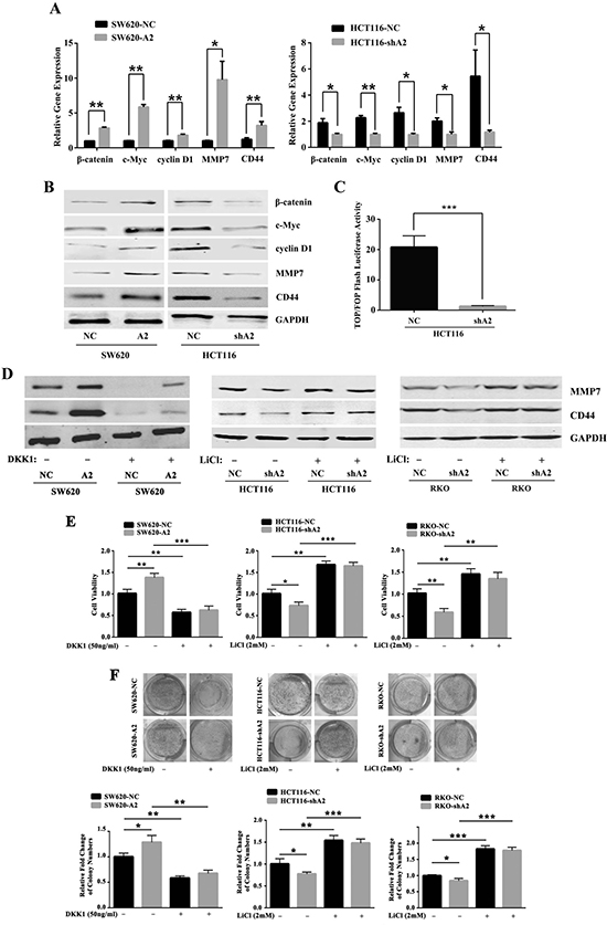 HMGA2 modulates the downstream signaling pathway of Dvl2.