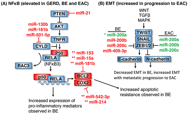 Elevated NF-κB signaling and EMT in EAC.