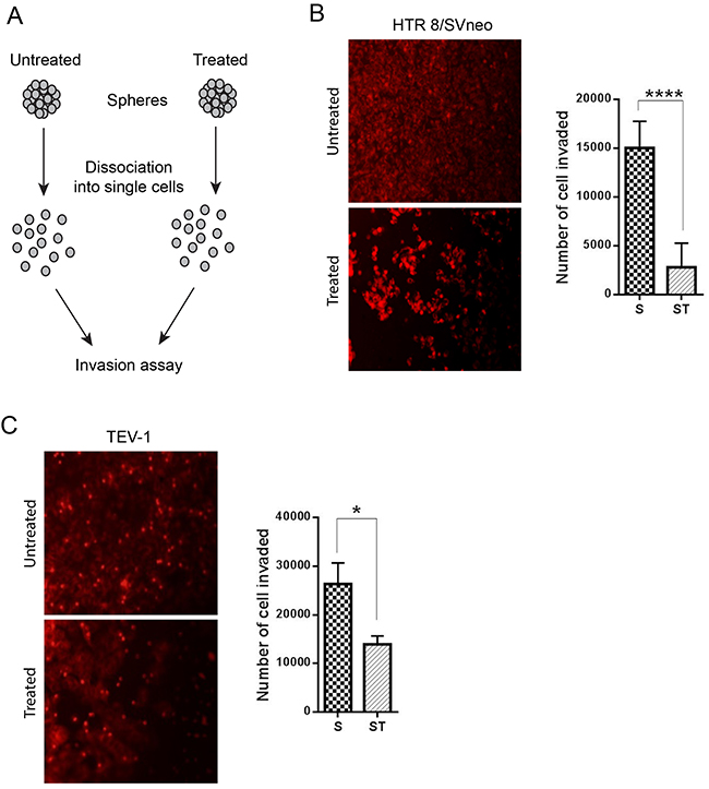 Comparative cell invasion of untreated and treated transformed trophoblast SLCs.