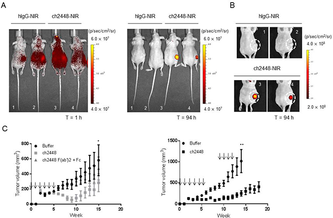 In vivo activity of ch2448 in a ovarian tumor xenograft mouse model.