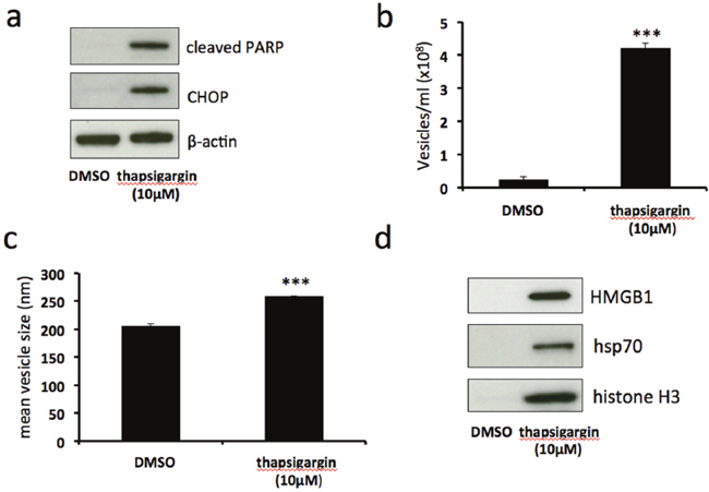 Thapsigargin-induced severe ER stress stimulates release of EV-associated DAMPs.