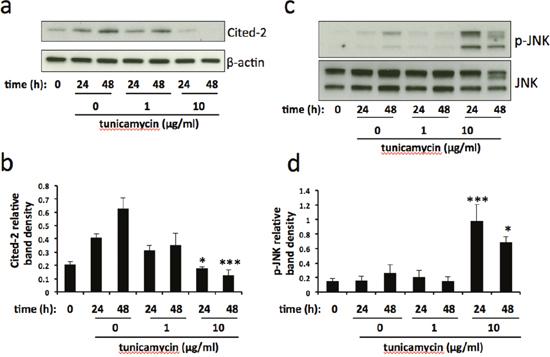 Cited-2 and phospho-JNK expression is altered in severe ER stress.