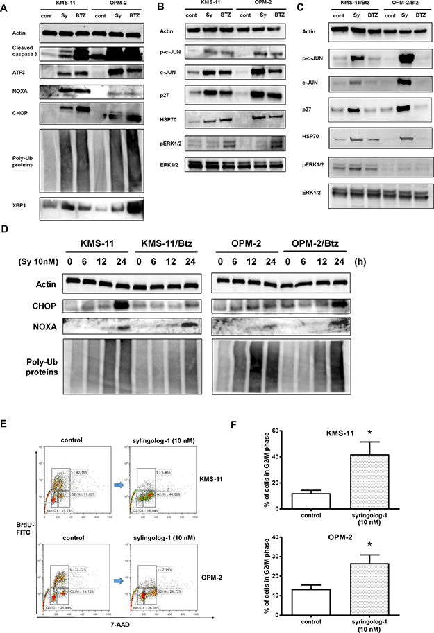 Evaluation of ubiquitin-proteasome, ER stress, and apoptosis-related pathways after syringolog-1 treatment by immunoblot analysis.