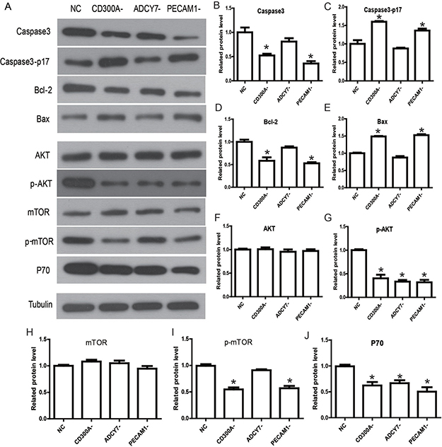 Determination of the molecular mechanisms and signaling pathways by which CD300A regulates apoptosis and proliferation in U937.