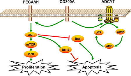 Schematic diagram of CD300A/PECAM1/AKT signaling pathway on the proliferation and apoptosis of AML cells.