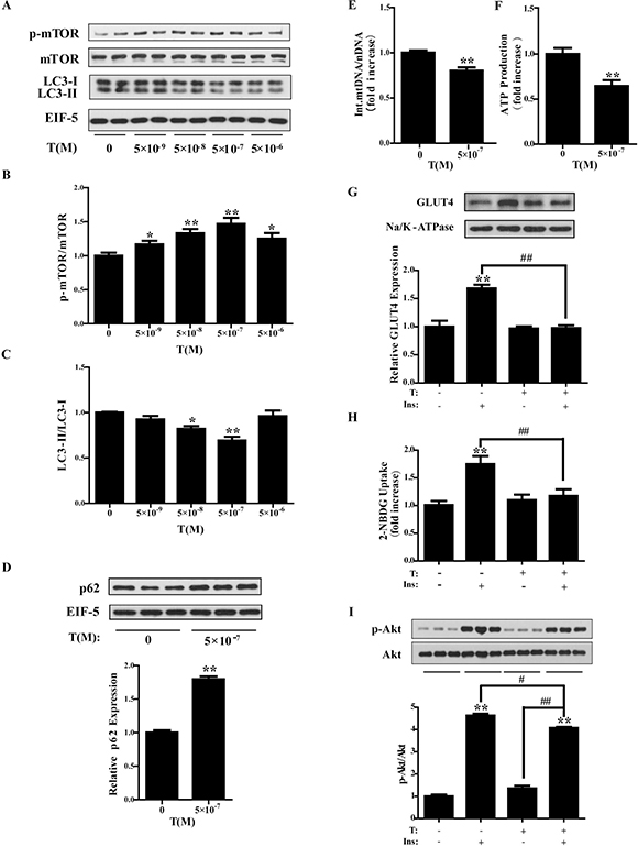 Treatment of testosterone in C2C12 cells.