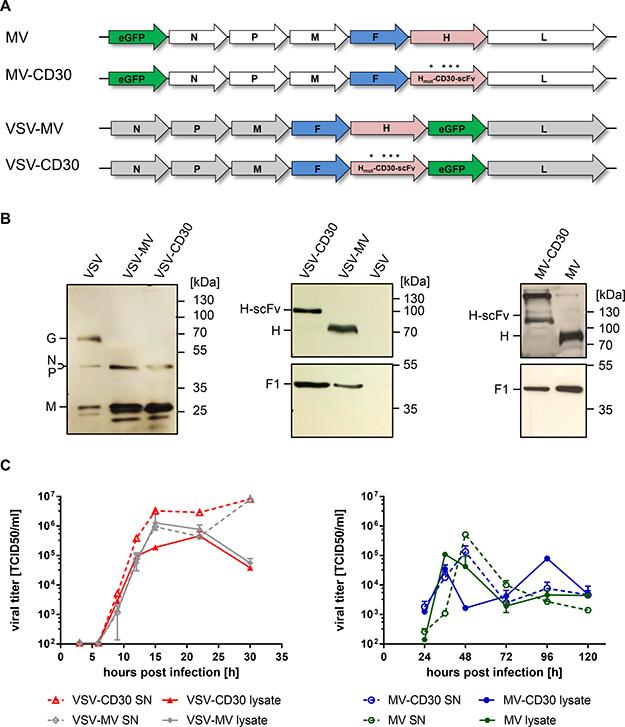 Generation of MV-CD30 and VSV-CD30.