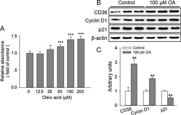 OA enhanced the proliferation of HC11 and the expression of CD36.