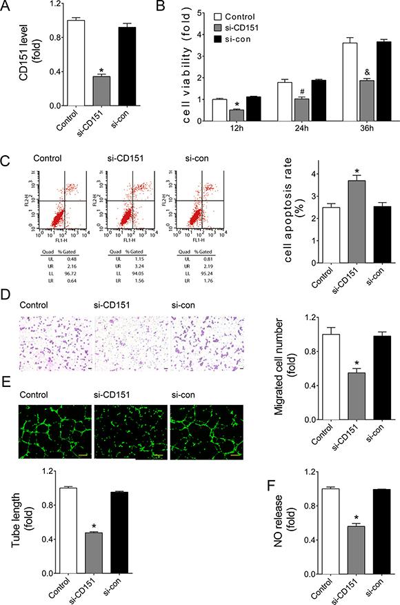 Downregulation of CD151 inhibited angiogenesis of HUVECs.