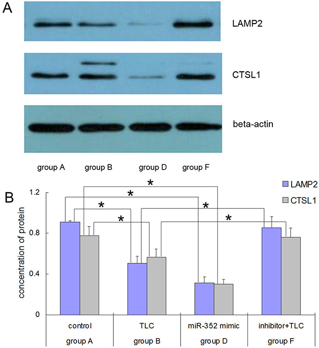 Western blot results for the LAMP2 and CTSL1 proteins in each group after rno-miR-352 intervention.