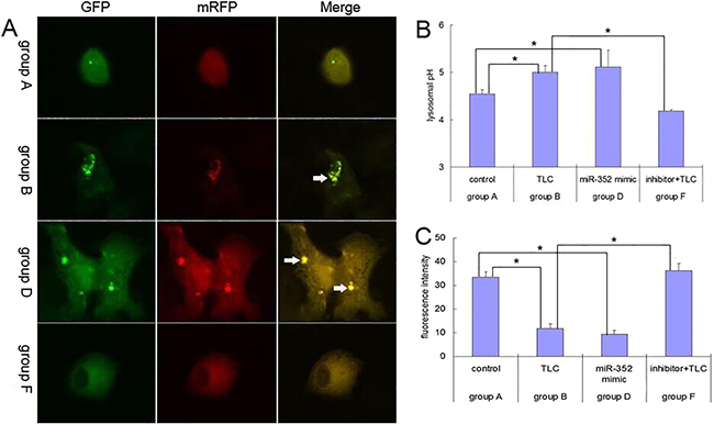 Results for the blockage role of miR-352 in autophagy pathway in AR42J cells.