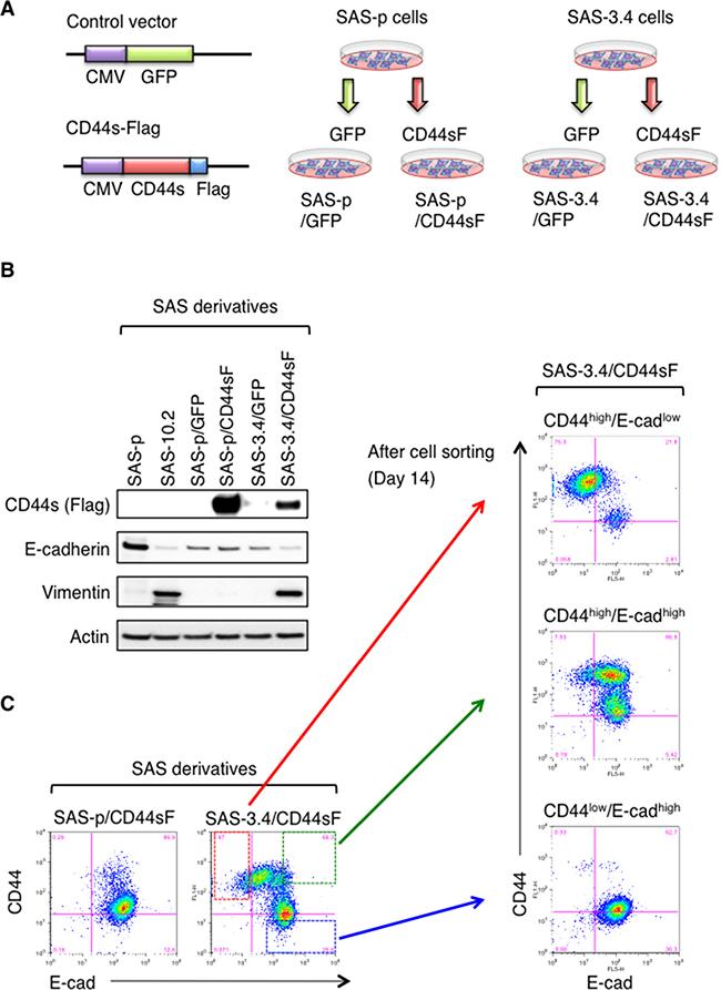 CD44s promotes EMT only in CDDP-resistant oral cancer cells.
