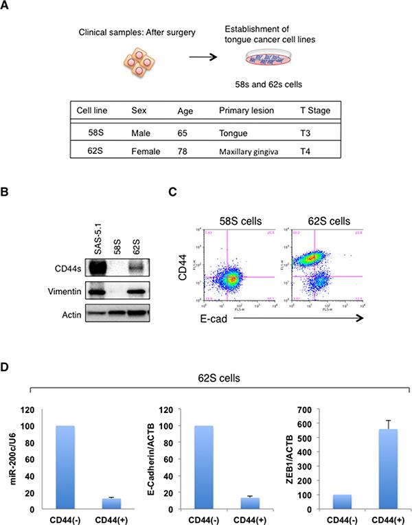 Evaluation of CD44s and EMT markers in the established oral cancer cells.