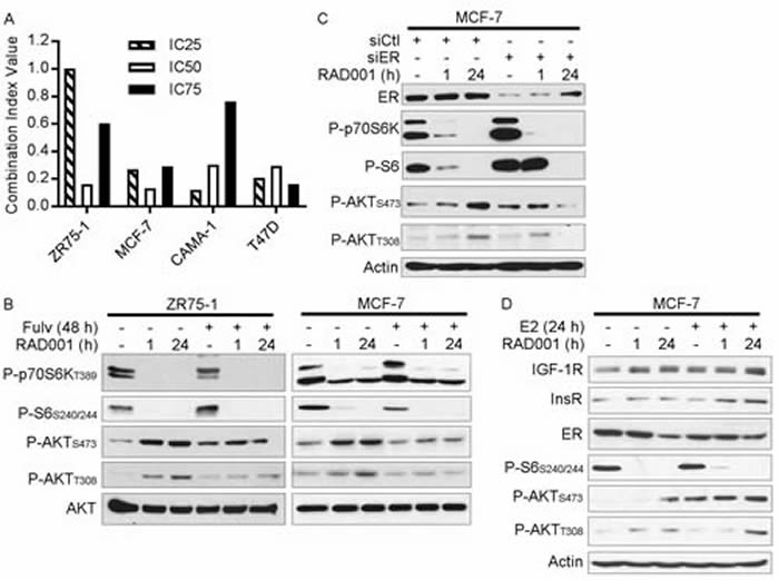 Loss of ER activity abrogates mTORC1 inhibitor-induced feedback activation of PI3K/AKT.