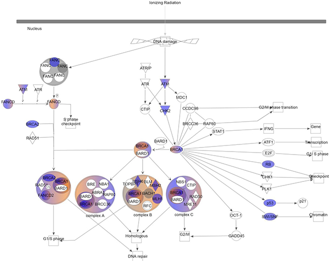 Role of BRCA1 in DNA damage response.