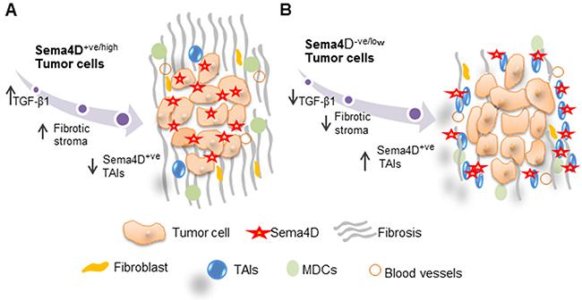 Model for Sema4D+ve/high tumor cells with a fibrotic peri-tumoral stromal phenotype versus Sema4D-ve/low tumor cells with Sema4D+ve/high TAIs.