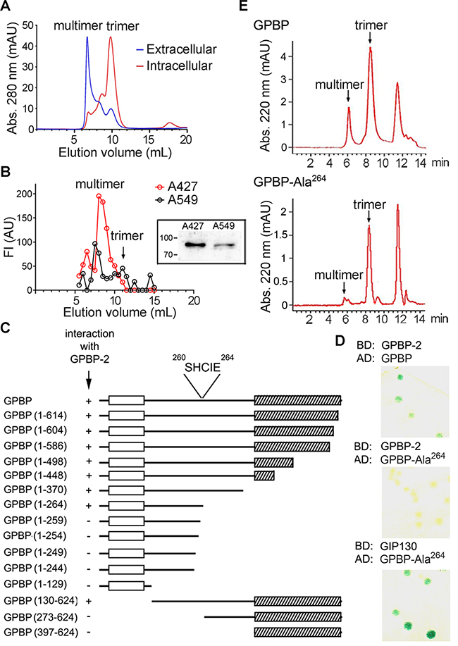 The druggable GPBP isoform is a multimer stabilized by self-interacting 260SHCIE264 motif.