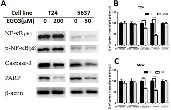 Effect of EGCG on protein expression.