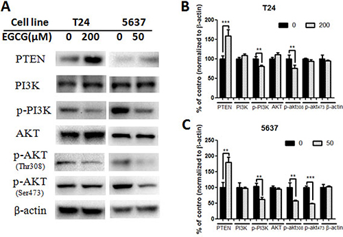 Effect of EGCG on protein expression of PI3K/AKT signaling pathway.