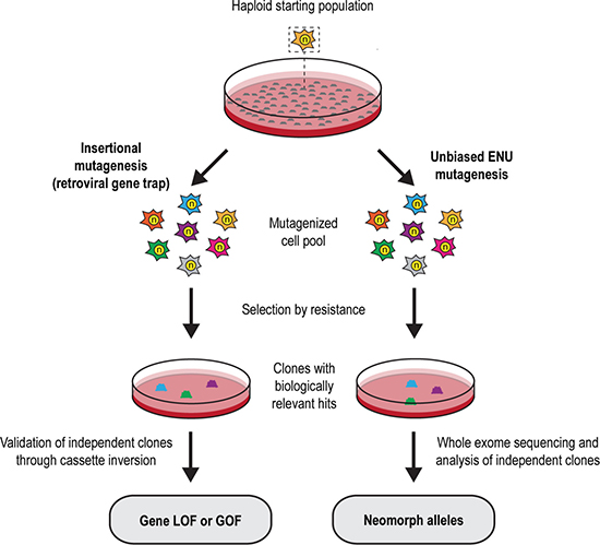 Insertional and ENU-based mutagenesis in mouse haploid embryonic stem cells.