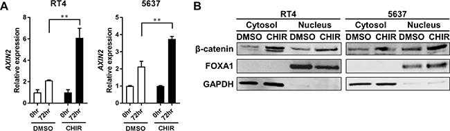 CHIR activates Wnt/β-catenin pathway in bladder cancer cell line-derived organoids.